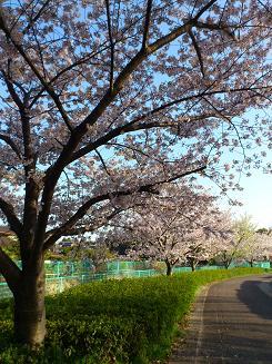 桜4.12.2.JPG