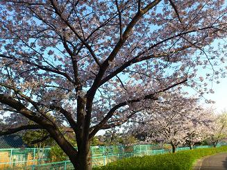 桜4.12.1.JPG