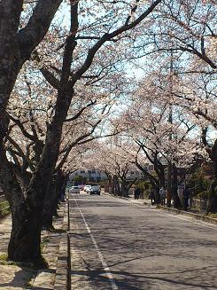 桜4.8..JPG