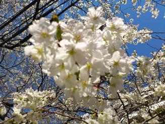 桜4.8.3.JPG